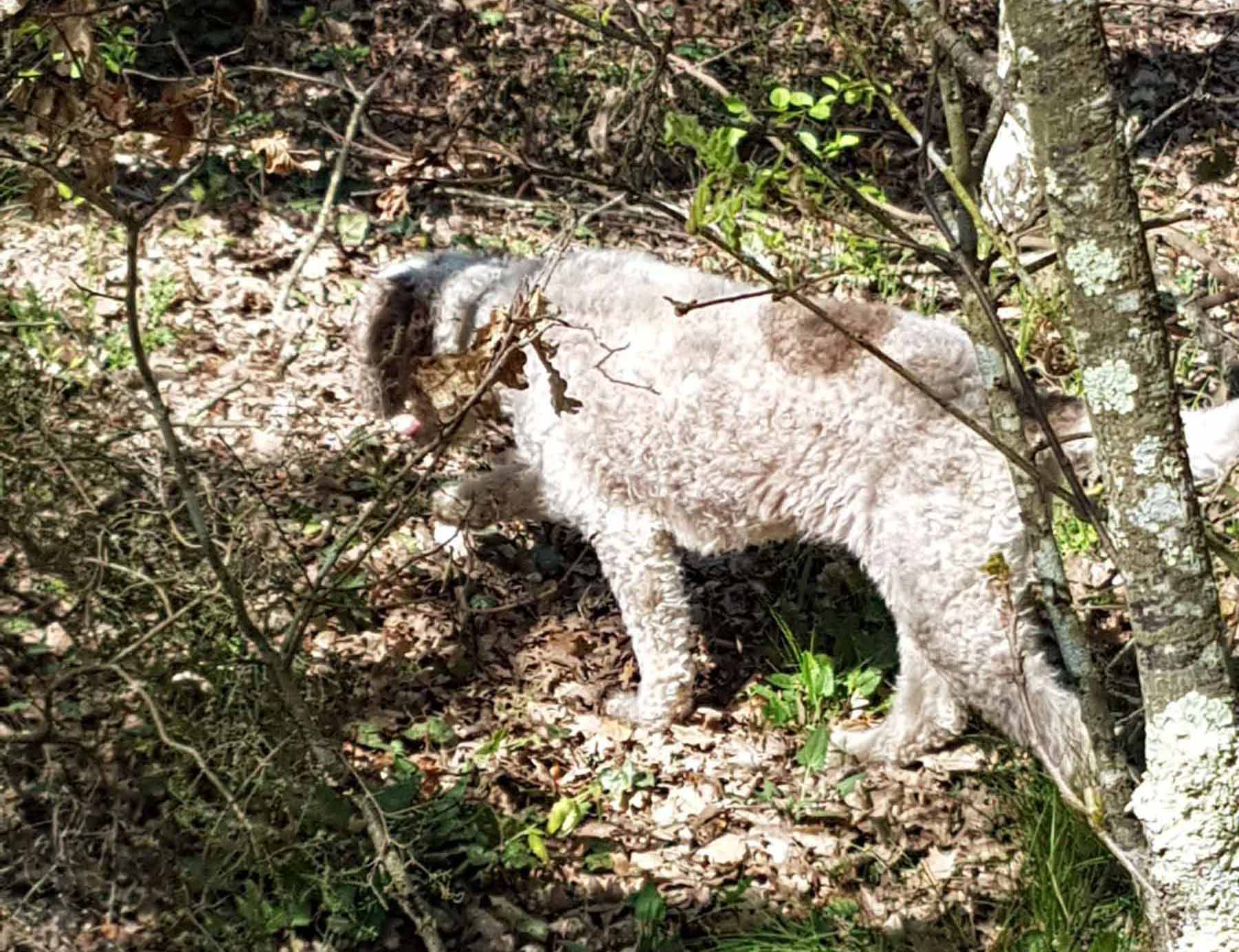 cane da tartufi, ricerca dei tartufi di san miniato cane lagotto