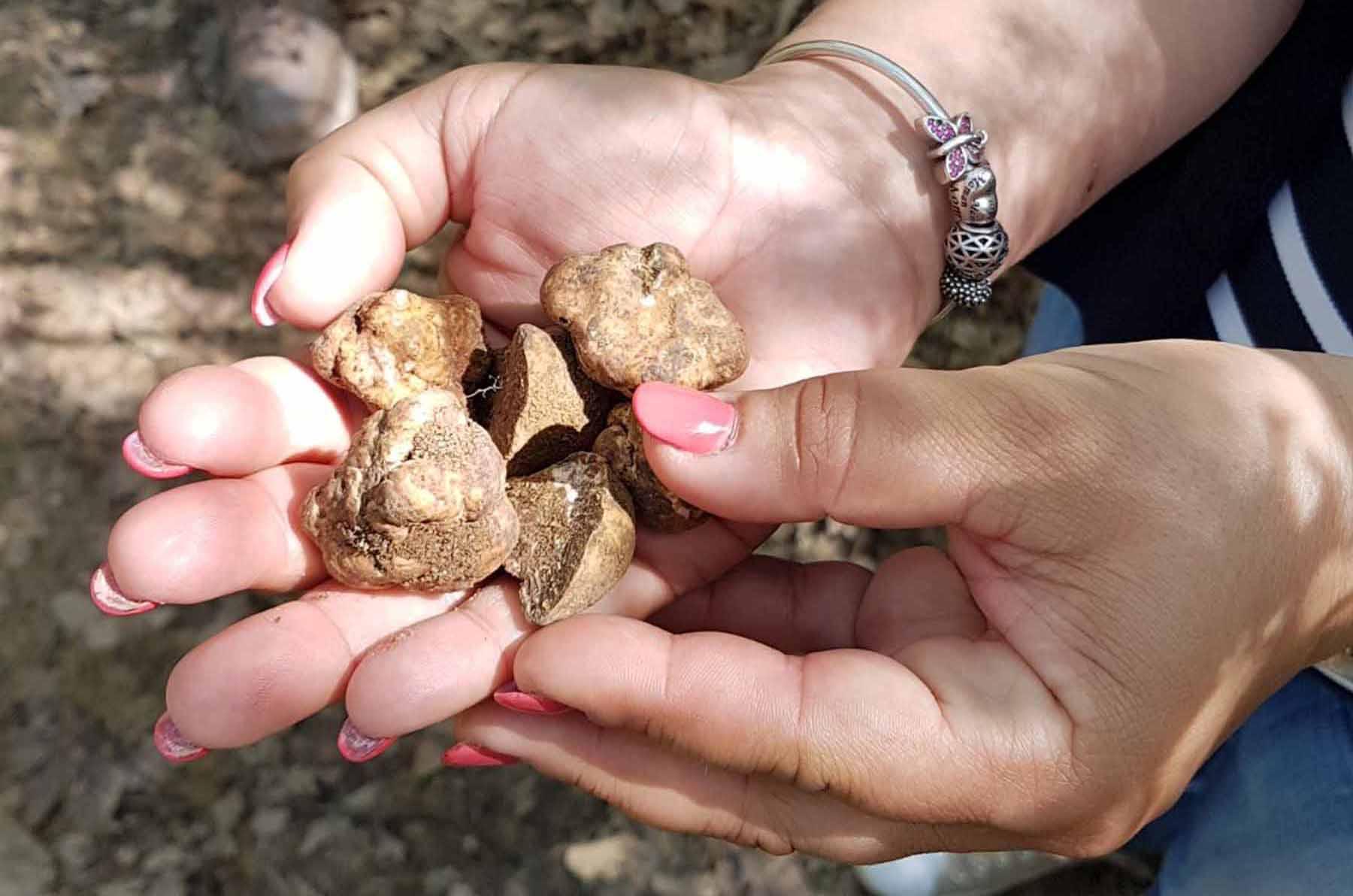 ricerca dei tartufi di san miniato gazzarini tartufi copia