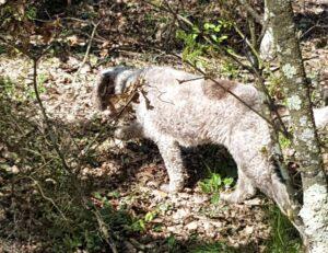 ricerca-dei-tartufi-di-san-miniato-cane-lagotto