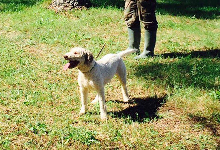 cane da tartufi di san miniato