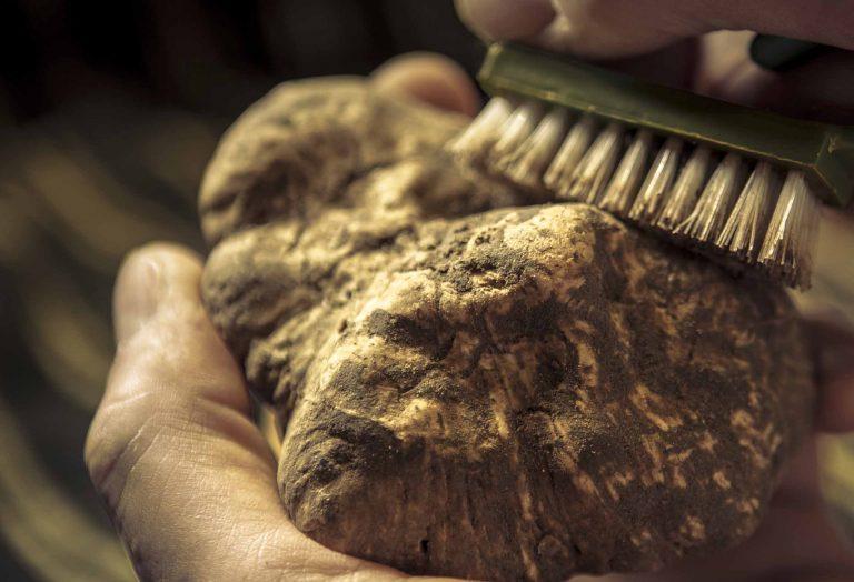 Pulire tartufi di san miniato